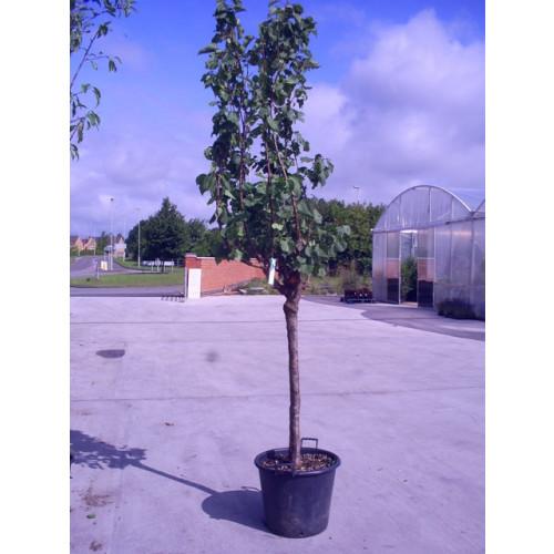 PRUNUS ARMENIACA (ALBICOCCO/APRICOT)9ft-275cm tree height girth19cm