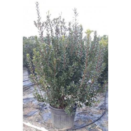 Arbutus Unedo (Strawberry Tree) 150-180cm Planted Height