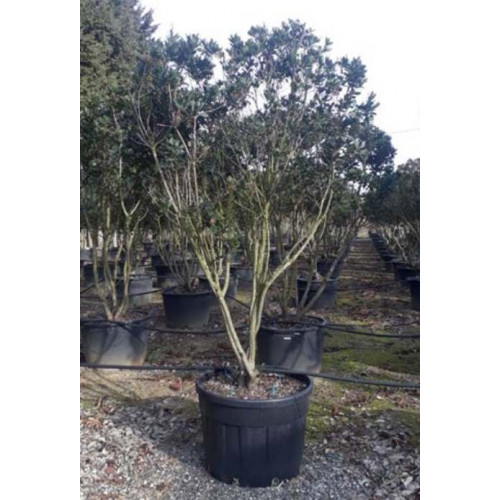 Arbutus Unedo (Strawberry Tree) 200-250cm Planted Height