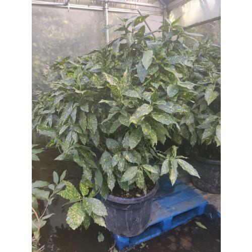 Spotted Laurels, Aucuba Japonica Variegata, 150cm Excluding the pot, 50L Contianer