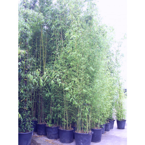 Gold Bamboo  Phyllostachys Aurea, 400/450cm, EXCLUDING pot height