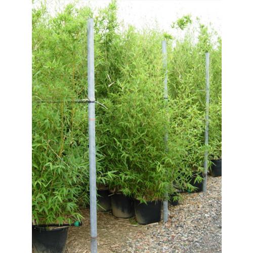 Gold Bamboo Phyllostachys Aurea, 200/250cm, EXCLUDING pot height