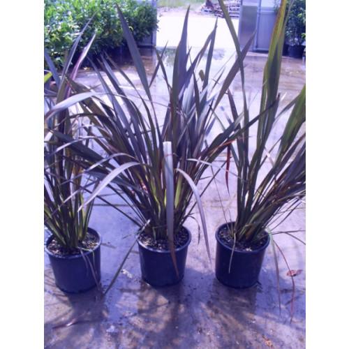 Phormium Flax Tenax Bronze baby 90cm / 3ft including pot height