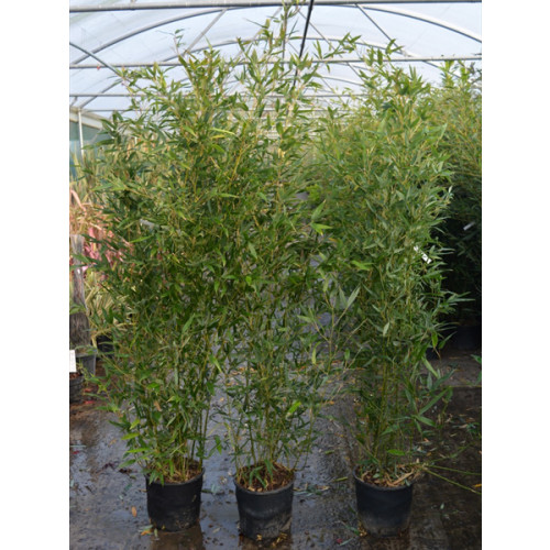 Bamboo Phyllostachys Bissettii, 150/200cm, EXCLUDING pot height