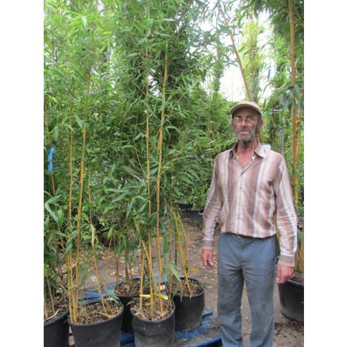 Phyllostachys Castillonis - 8 feet high including height of pot