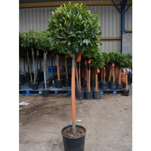 Bay Tree Laurus Nobilis Ball on Stem, total height 170cm / 5ft 6in including pot height (head dia 60-65cm) - SOLD OUT - TAKING ORDERS FOR JUNE