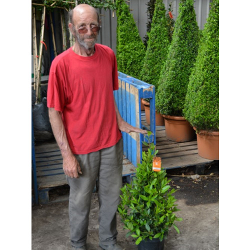Bay Tree Laurus Nobilis Cone 90cm / 3ft including pot height - SOLD OUT - TAKING ORDERS FOR JUNE