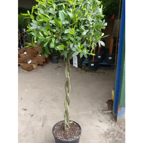 Bay Tree Laurus Nobilis Ball on Plaited stem, Total Height 170cm  / 5ft 6in including pot height (head dia 55cm)