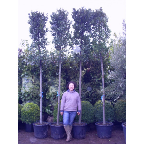 Bay Tree (Standard) Laurus Nobilis 11ft 6in excluding height of the pot (clear stem 6ft 5in, 16/18cm girth) - loose rough cut