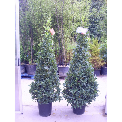 Bay Tree Laurus Nobilis Cone 170cm / 5ft 6in including pot height - SOLD OUT - TAKING ORDERS FOR JUNE