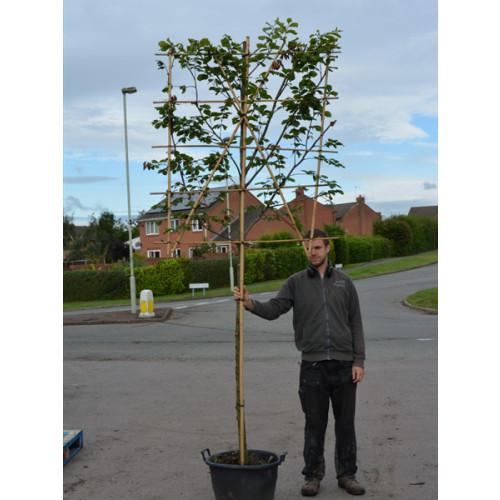 Beech  ''Fagus Sylvatica''   espalier ltd quan in container 1.5m stem 1.5m high x 1.2m wide espalier