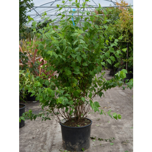 Philadelphus 'Belle Etoile' 80-100cm (2-3 feet) in large 20 litre pots - SOLD OUT, AVAILABLE FROM JULY