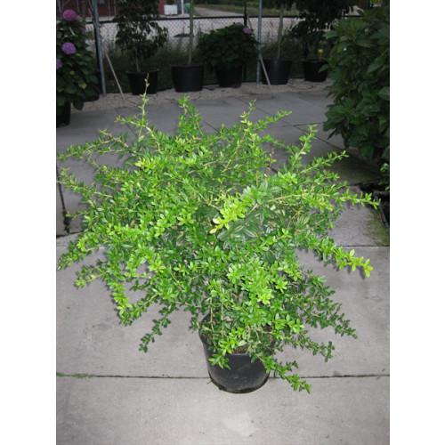 Berberris Juliane 60- 80cm high plant height in large 12 litre pot