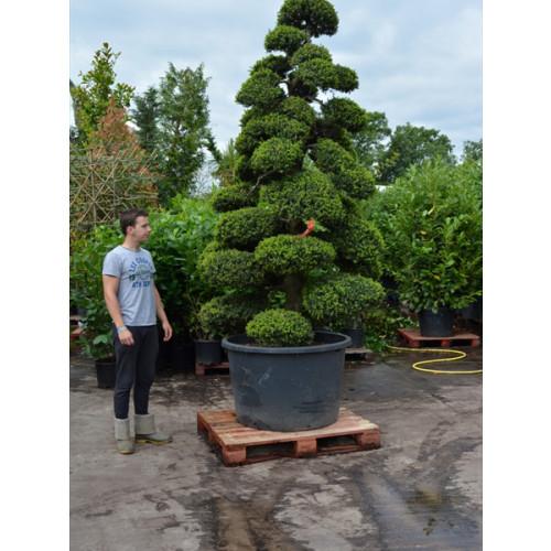 Cloud Tree Bonsai ilex Crenata Kimnei 300cm/10ft including pot height