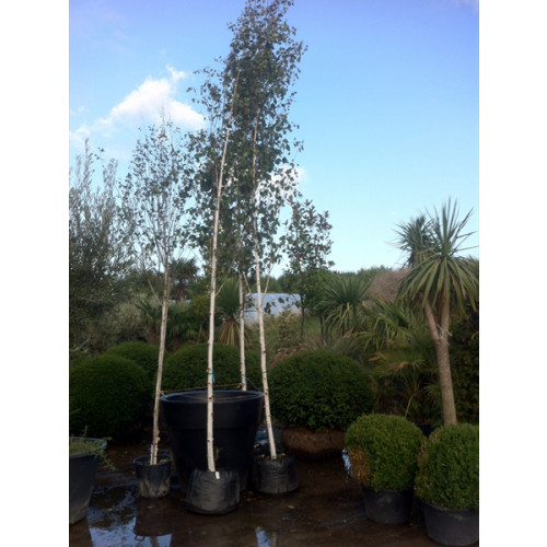 Silver Birch ''Jacquemontii'' (Betula Utilis), 20/25cm girth of the stem, 6m/19ft 6in tall not including rootball