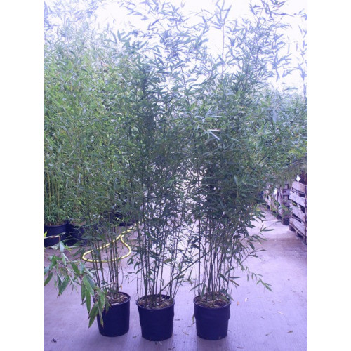 Bamboo Phyllostachys Bissettii, 300/350cm, EXCLUDING pot height