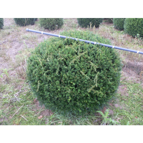 Taxus Baccata Ball 125-150cm / 4ft - 4 ft 11 inches diameter