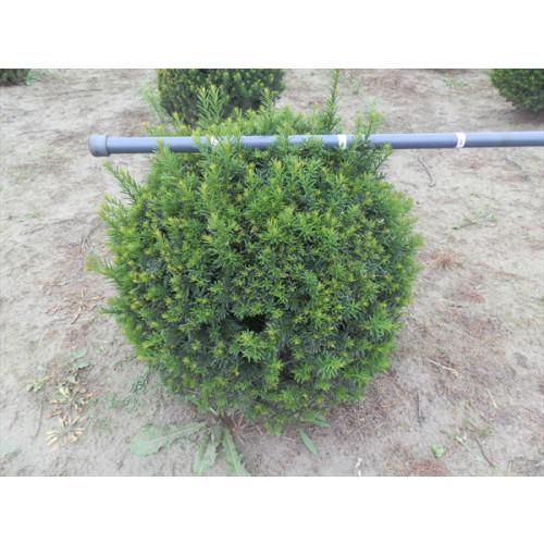 Taxus Baccata ball 40cm diameter