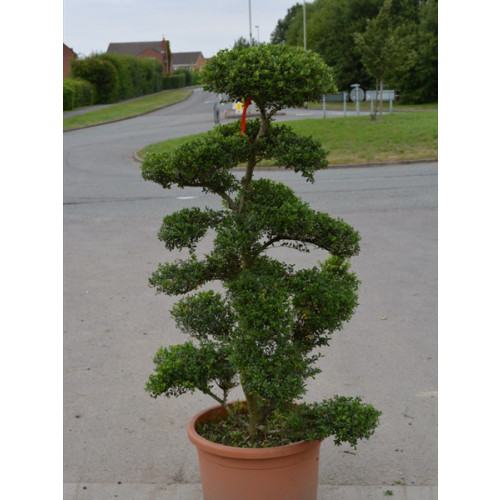 Cloud Tree Bonsai ilex Crenata Kimnei 170 - 180cm / 5ft 10in - 6ft including pot height