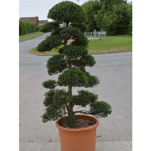 Cloud Tree Bonsai ilex Crenata Kimnei 200cm / 6ft 6in including pot height