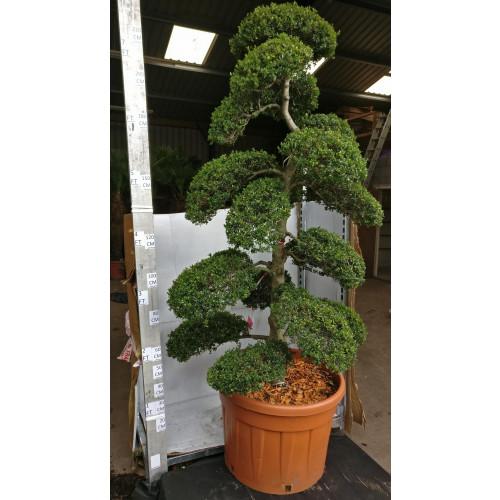 Cloud Tree Bonsai ilex Crenata Kimnei 235cm / 7ft 10in  including pot height