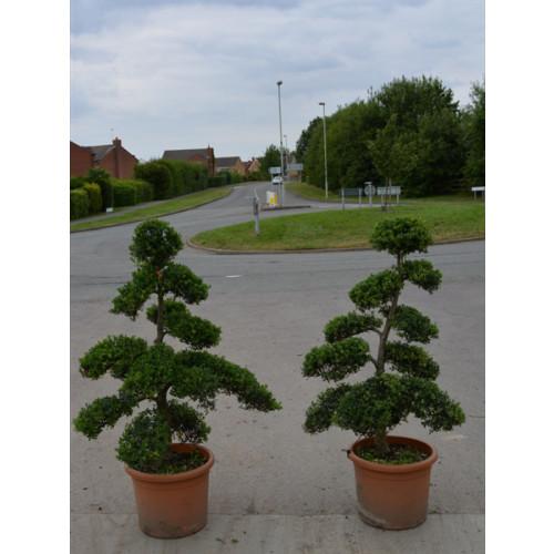 Cloud Tree Bonsai ilex Crenata Kimnei 150cm / 5ft including pot height - NEW STOCK IN NOW
