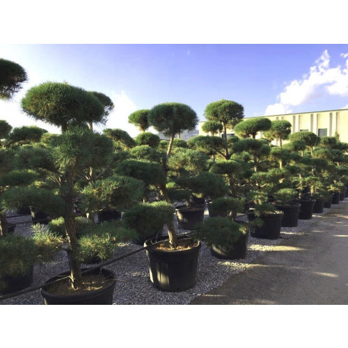 Bonsai Pinus Sylvestris (Scots Pine) 250cm/8ft including height of the pot