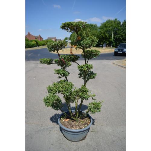 Bonsai Ilex Crenata 125cm / 4ft including height of the pot