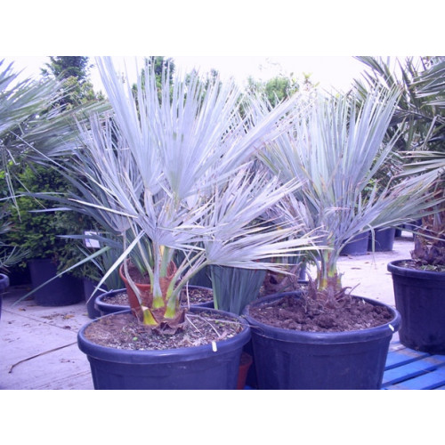 Brahea Armata Mexican Blue Palm 120cm / 4ft including pot height