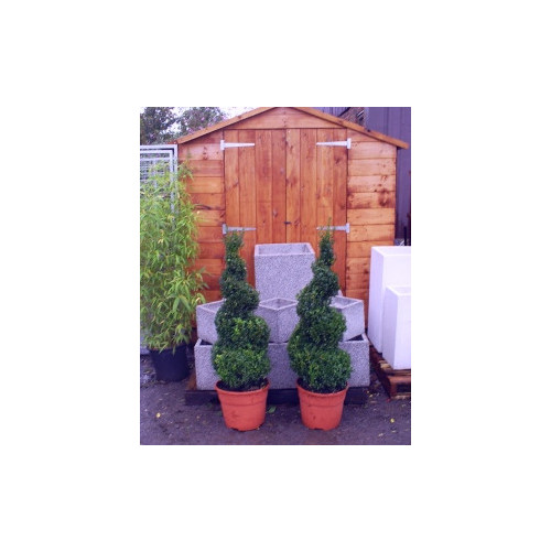 Box Buxus Spiral 105cm / 3ft 6in including pot height