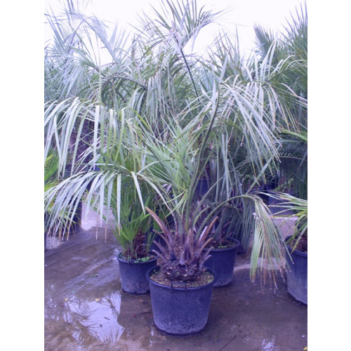 Butia Capitata Jelly Palm 210cm / 7ft including pot height