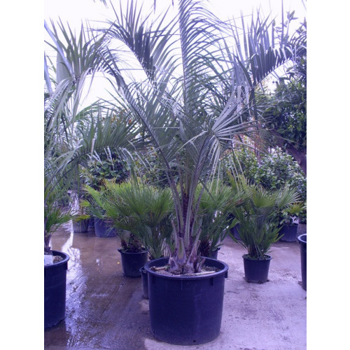 Butia Capitata Jelly Palm 300cm / 8 - 9ft including pot height
