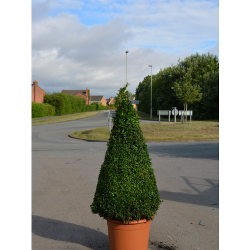 Box Buxus Cone 100cm / 3ft including pot height