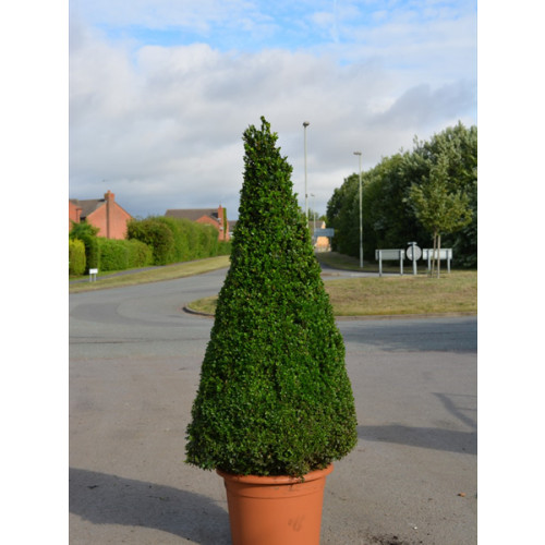 Box Buxus Cone 125cm / 4ft including pot height