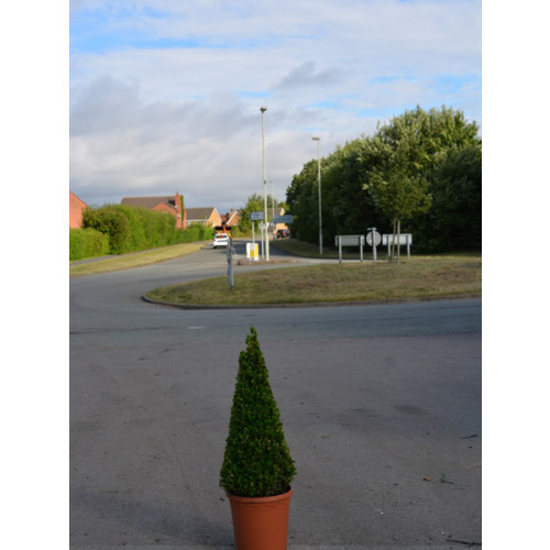 Box Buxus Cone 75cm / 2ft 5in including pot height