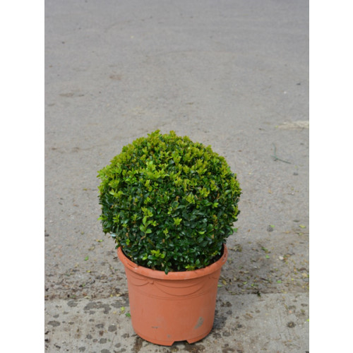 Box Buxus Ball 25cm / 9in diameter  - SOLD OUT