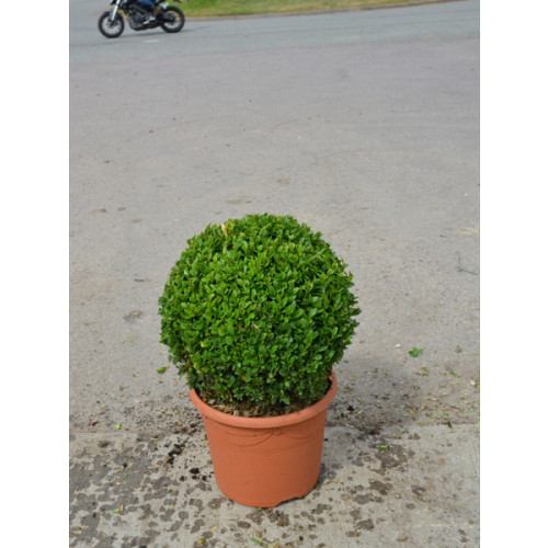 Box Buxus ball 30cm