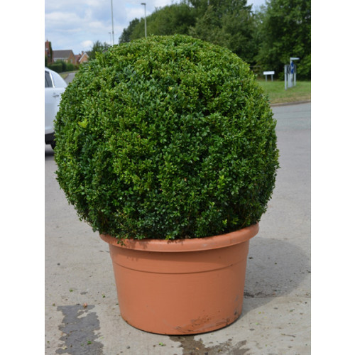 Box Buxus Ball 90cm / 3ft diameter