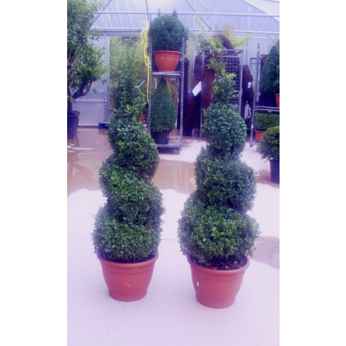 Box Buxus Spiral 120cm / 4ft including pot height