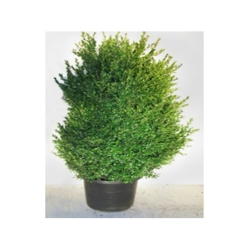Buxus Bush 110-130cm plant height (not including pot)