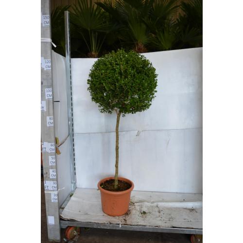 Buxus Microphylla Faulkner Ball on Stem 130cm including pot, 40/45cm head diameter