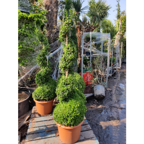 Box Buxus Spiral 150cm / 5ft including pot height