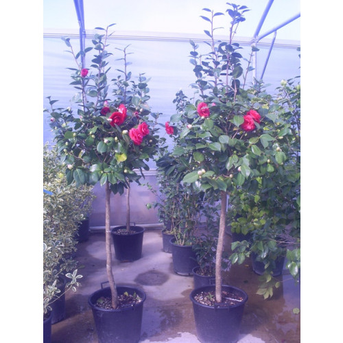 Camelia Japonica ball on stem 195 - 210cm / 6ft 6in - 7ft  including pot height