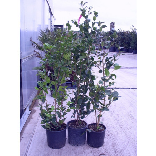 Camelia Japonica small bush 3ft/ 90cm cluding pot height-new size