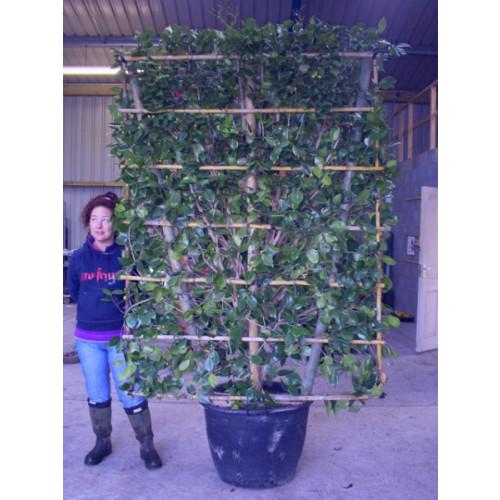 Camelia Japonica on Trellis 240cm height x 150cm wide (8ft x 5ft)  inc pot height