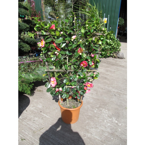 Camelia Japonica on Trellis 140cm height x 85cm wide (4ft 7in x 2ft 10in)