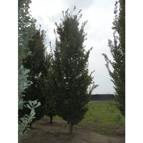 Carpinus betulus 'Frans Fontaine' 30-35, wired rootball feathered 18 feet plus -TAKING ORDERS FOR AUTUMN 2019