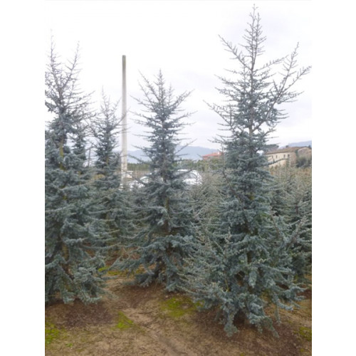 Cedrus Atlantica Glauca 11-12 feet high