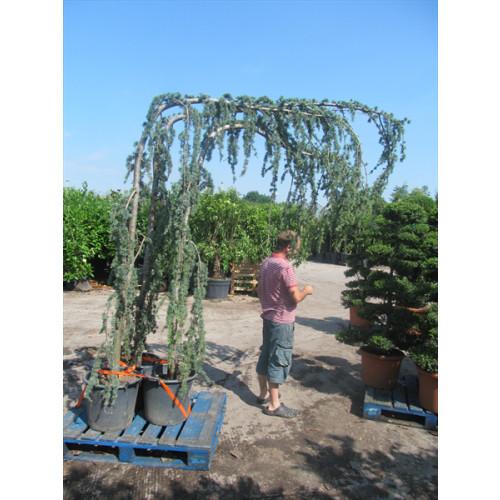 Cedrus Atlantica Glauca Pendula (Weeping Blue Cedar) 250cm high including pot, 180cm wide