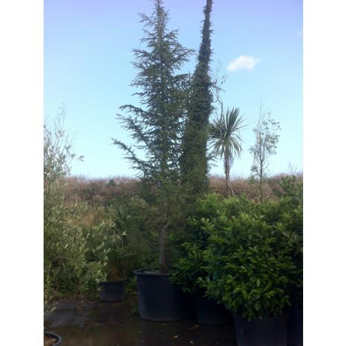 Cedrus Atlantica massive 27 feet high including height of pot
